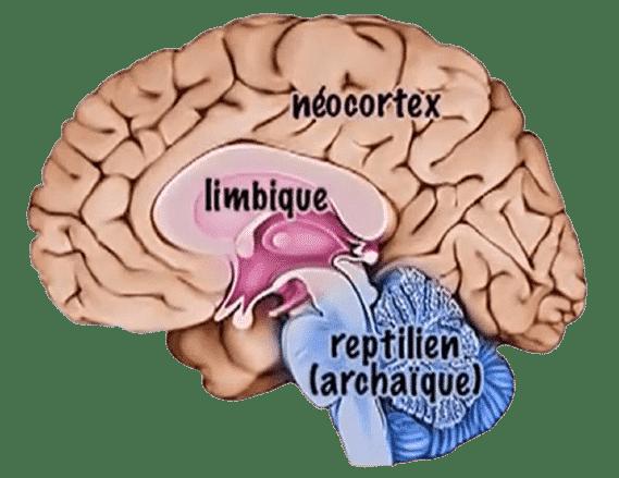 Cerveau triunique - Axone Thérapies - Frédéric HEBERT